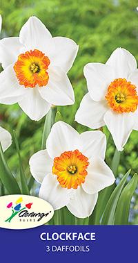 Daffodil Clockface - Pack of 3