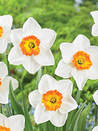 Daffodil Clockface