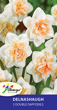 Double Daffodil Delnashaugh - Pack of 3