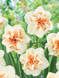 Double Daffodil Delnashaugh