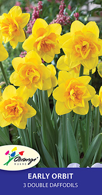 Double Daffodil Early Orbit - Pack of 3