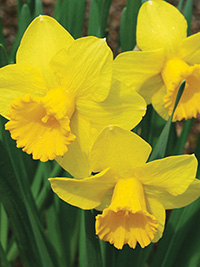 Daffodil Gold Convention