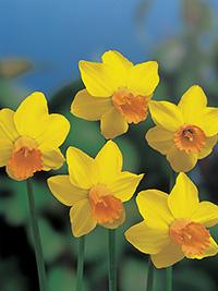 Miniature Daffodil Jetfire