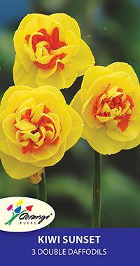 Double Daffodil Kiwi Sunset - Pack of 3