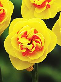 Double Daffodil Kiwi Sunset