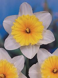 Daffodil Orange Ice Follies