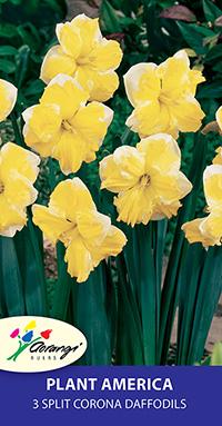 Split Corona Daffodil Plant America - Pack of 3