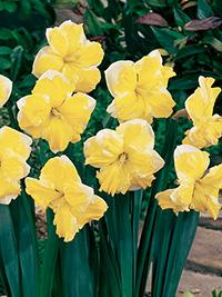 Split Corona Daffodil Plant America