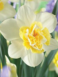 Double Daffodil Popeye