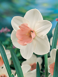 Daffodil Romance