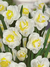 Daffodil Salou