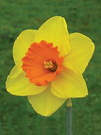 Daffodil So Big