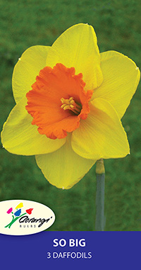 Daffodil So Big - Pack of 3