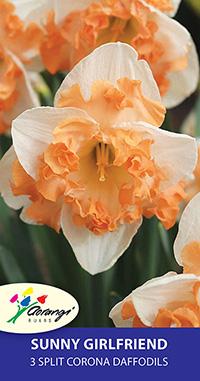 Split Corona Daffodil Sunny Girlfriend - Pack of 3