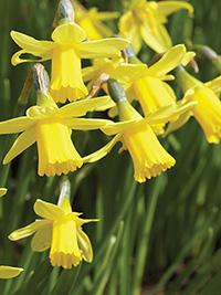Miniature Daffodil Tete a Tete