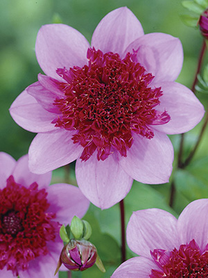 Dahlia Blue Bayou, pack of 1