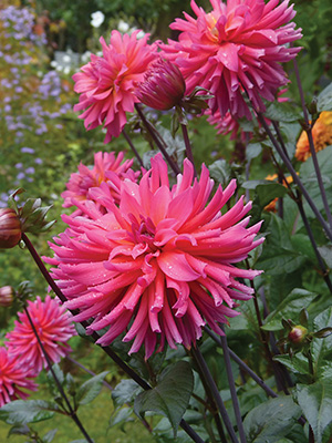 Dahlia Blue Record, pack of 1