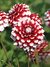 Dahlia Checkers, pack of 1