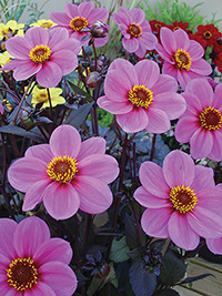 Dahlia Juliet, pack of 1