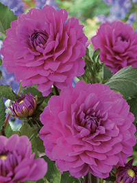 Dahlia Karma Lagoon, pack of 1