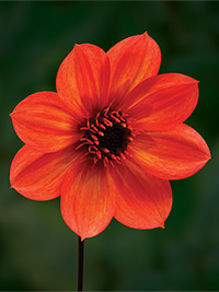 Dahlia Love Affair, pack of 1
