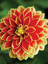 Dahlia Maxime, pack of 1