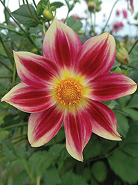 Dahlia Octopus, pack of 1