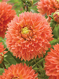 Dahlia Orange Impact