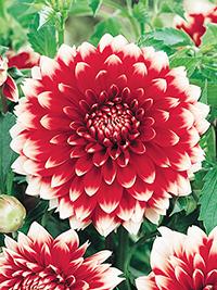 Dahlia Red & White Fubuki
