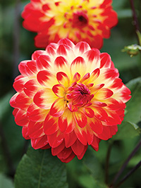 Dahlia Sights of Summer, pack of 1
