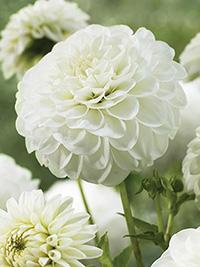 Dahlia White Aster
