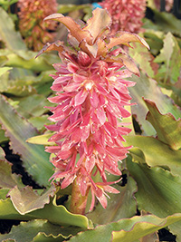 Eucomis Tiny Piny Coral, pack of 2