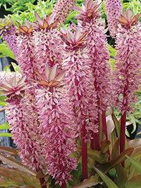 Eucomis Tugela Jewel, pack of 1