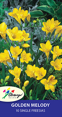 Freesia Golden Melody - Pack of 10