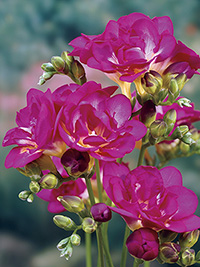 Freesia Purple Rain