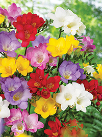 Freesia Single Mixed Size 5/6