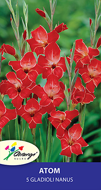 Gladioli Nanus Atom - Pack of 5