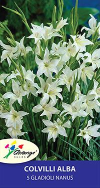 Gladioli Nanus colvilli alba - Pack of 5