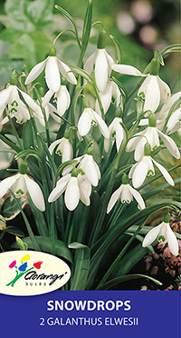 Galanthus Elwesii - Pack of 2