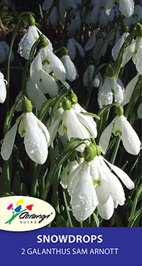 Galanthus Sam Arnott - Pack of 2