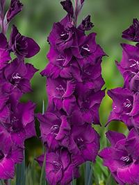 Gladiolus Astarte - Pack of 5