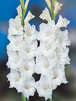 Gladiolus Bangladesh - Bulk