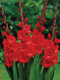 Gladiolus Belladonna - Bulk