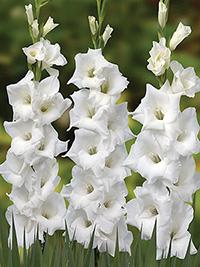 Gladiolus Columbus - Pack of 5