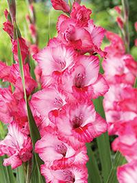 Gladiolus Hugo - Pack of 5