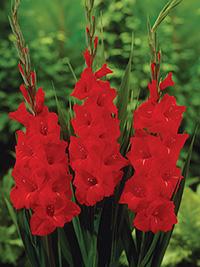 Gladiolus Magma - Bulk