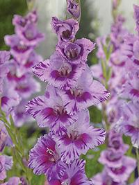 Gladiolus Passos - Pack of 5