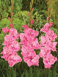 Gladiolus Pink Parrot - Pack of 5