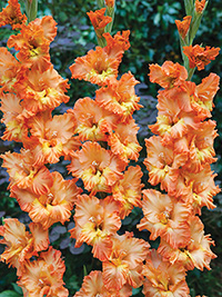 Gladiolus Princess Frizzle - Pack of 5