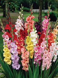 Gladiolus Mix - Pack of 5 or 10